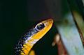 Machete Savane Snake (Chironius carinatus) (10532255905).jpg