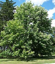 Magnolia Acuminata Wikipedia