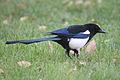 Magpie in Madrid (Spain) 32.jpg