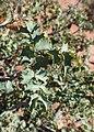 Mahonia fremontii kz18.jpg