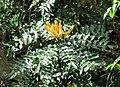 Mahonia napaulensis Nepal.JPG