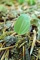 Maianthemum bifolium kz01.jpg
