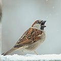 Male House Sparrow open beak.jpg
