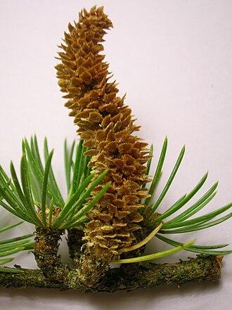 Cedrus libani - Male cone of cedar of Lebanon