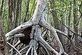 Malpighiales - Rhizophora mangle - 39.jpg