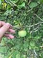Malus brevipes (Rehder) Rehder cultivated in Royal Botanic Gardens, Kew. Fruit.jpg