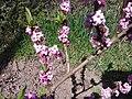 Malvales - Daphne mezereum - 1.jpg