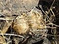 Mammillaria guelzowiana (5729958806).jpg