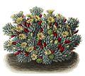 Mammillaria prolifera BlKakteenT46.jpg