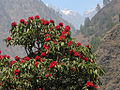Manaslu-Circuit Rhododendron.jpg
