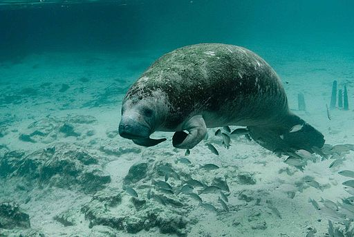 Manatee endangered species Trichechus manatus latirostris