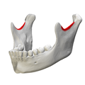 Mandibular notch - close-up - lateral view2.png