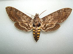 Manduca sexta female sjh.JPG