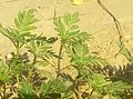 Marigold plants.jpg