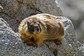 Marmota flaviventris (Yellow-bellied marmot) (27997802483).jpg