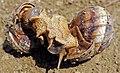Mating snails.jpg