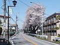 Matsunami-Sakura Street.JPG