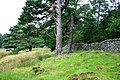 Mature Scots Pine and Wall, Heathfield - geograph.org.uk - 553674.jpg