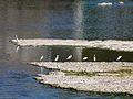 Mauzac (24) oiseaux aval barrage (2).jpg