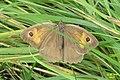 Meadow brown, f. (Štěp) (37277959504).jpg