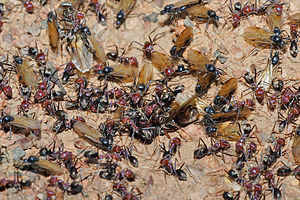 Queen ant - Winged ants swarming from the nest in preparation for the nuptial flight