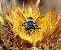 Megachile species - Flickr - gailhampshire.jpg