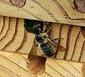 Megachile willughbiella ? Leafcutter Bee (35752480352).jpg