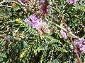 Melaleuca gibbosa (Myrtaceae) leaves.JPG