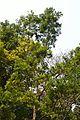 Melaleuca leucadendron - Agri-Horticultural Society of India - Alipore - Kolkata 2013-01-05 2222.JPG