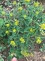 Melilotus indicus plant (06).jpg