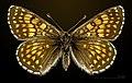 Melitaea varia MHNT CUT 2013 3 29 Col de Granon female dorsal.jpg