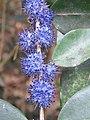 Memecylon umbellatum flowers at Peravoor (23).jpg