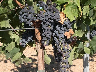 International variety - Merlot grapes growing in the La Mancha region of Spain