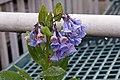 Mertensia virginica 7zz.jpg