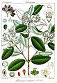 Microtropis ovalifolia Rungiah.jpg