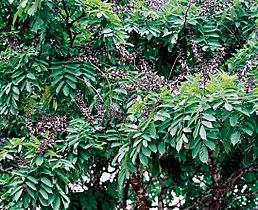 African Rosewood Wikipedia border=