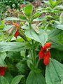 Mimulus cardinalis.jpg