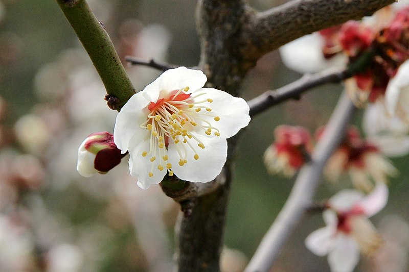 File:Minabe-Bairin Minabe  Wakayama16bs2400.jpg