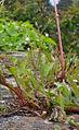 Minuartia hybrida varr. vaillantiana 02.JPG