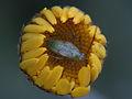 Miridae nymph - plant bug (9626453327).jpg