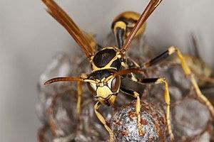 Paper Wasp (Mischocyttarus Flavitarsis) Head Closeup
