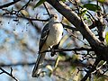 Mockingbird (42371).jpg