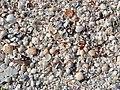 Mollusc shells on marine beach (Cayo Costa Island, Florida, USA) 17 (25572759804).jpg