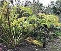 Molopospermum peleponnesiacum senescent foliage side view.jpg