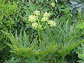 Molopospermum peloponnesiacum - Flickr - peganum (3).jpg