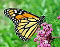 Monarch (Danaus plexippus) (7478979698).jpg