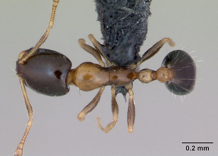 Dorsal view of ant Monomorium floricola specimen casent0125221.