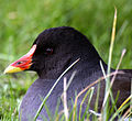 Moorhen head by Keven Law.jpg