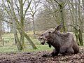 Moose at Zoo of Scania 2014-04-16 001.jpg