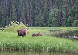 Moose in Bowron Lake Provincial Park, BC (DSCF3983).jpg
